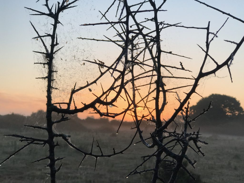 Thorny scrubland at dawn at Knepp Estate
